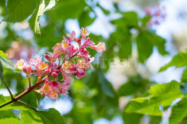 Beautiful pink chestnut blossom Stock photo © artsvitlyna