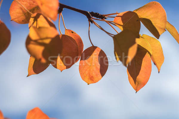 Branch pear with red yellow foliage, autumn leaves on blue sky b Stock photo © artsvitlyna