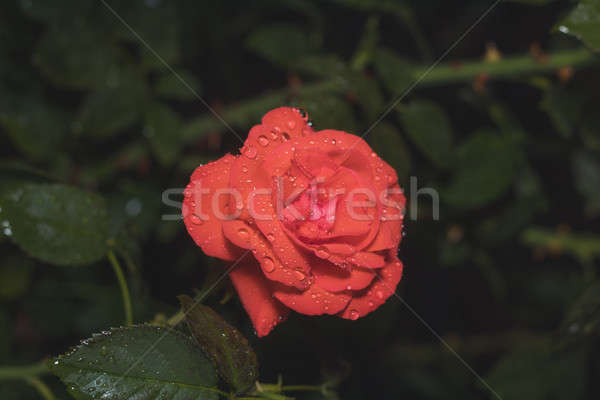 One beautiful red coral rose on green branch with water drops on Stock photo © artsvitlyna
