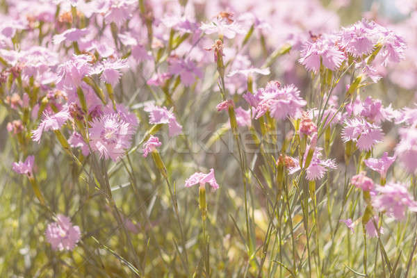 Gentle blooming pink cloves in the field on a sunny day in the s Stock photo © artsvitlyna