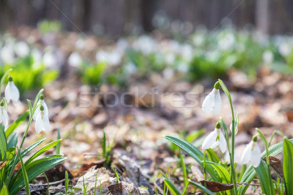 Stock photo: White tender snowdrops in the spring forest on sunrise