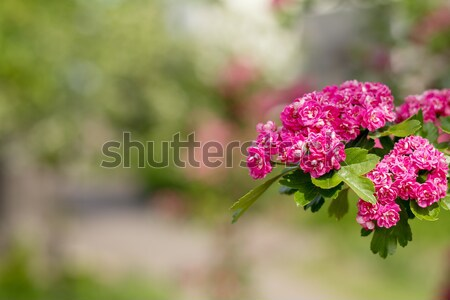 Beautiful pink hawthorn blossom Stock photo © artsvitlyna