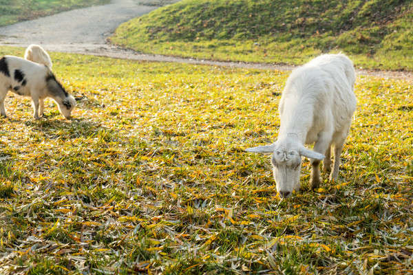 Stock photo: Goats graze on the lawn in the sunny autumn day