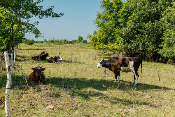 Stock photo: Cows grazing and resting on a pasture in the summertime.