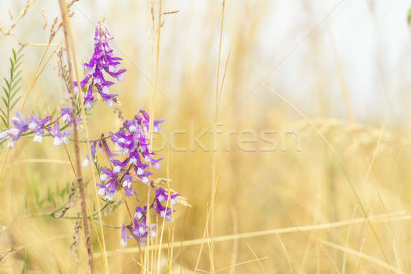 Dried yellow grass and gentle blue flowers in the field on a sun Stock photo © artsvitlyna