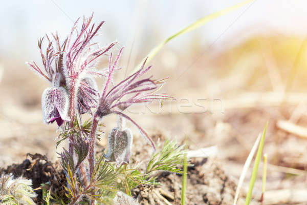 Prairie crocus, cutleaf anemone Stock photo © artsvitlyna