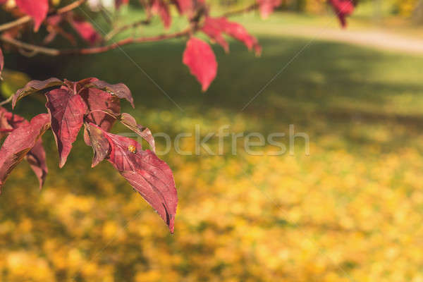 Stock photo: Red leaves with a ladybug in the autumn city park
