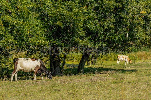 Cows grazing and resting on a pasture in the summertime. Stock photo © artsvitlyna