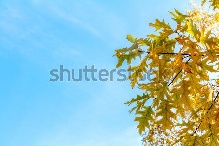 Autumn leaves sky background. Autumn maple trees branch with yel Stock photo © artsvitlyna