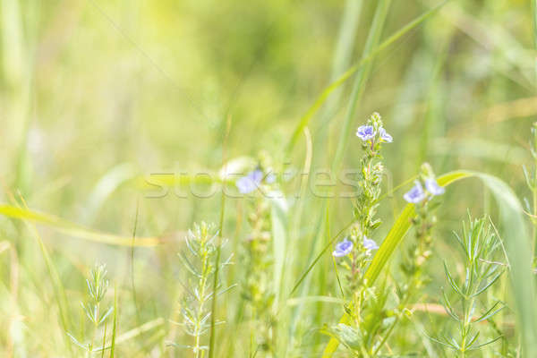 Stock photo: Green juicy grass and gentle violet flowers in the field on a su