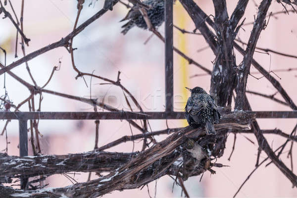 Stock photo: European starling bird on grape vine while snowfall