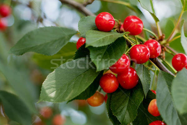 Fragrant ripe juicy cherry on a tiny branch with green leaves. C Stock photo © artsvitlyna