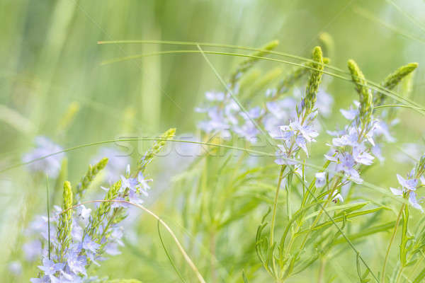 Stock photo: Green juicy grass and gentle blue flowers in the field on a sunn