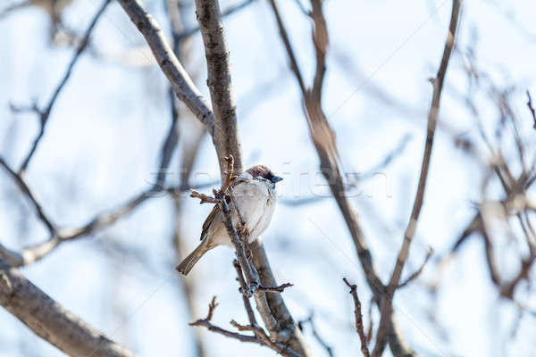 Stock photo: Sparrow on the branch. Sunny day. Blue sky. Beautiful early spri