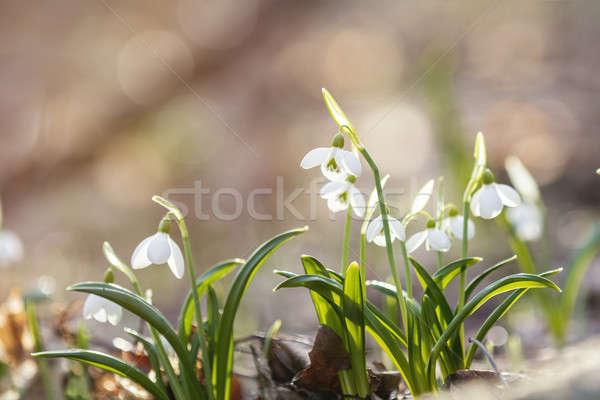 Sunrise sunset light on the white tender snowdrops in the spring Stock photo © artsvitlyna