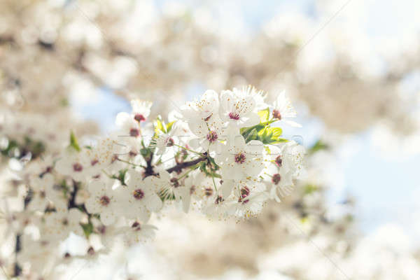 Beautiful nature scene with blooming tree and sun flare Stock photo © artsvitlyna