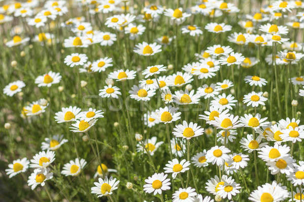 Stock photo: Daisy field in Ukraine in the summertime