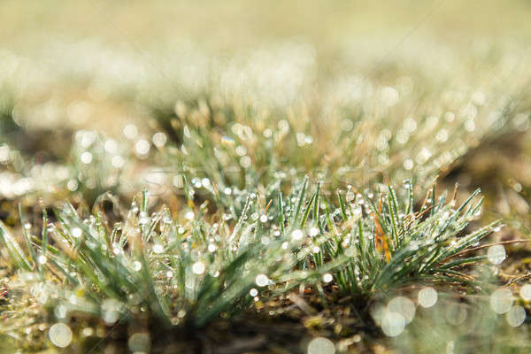 Stock photo: Morning dew on green grass at the natural morning sunlight. Abst