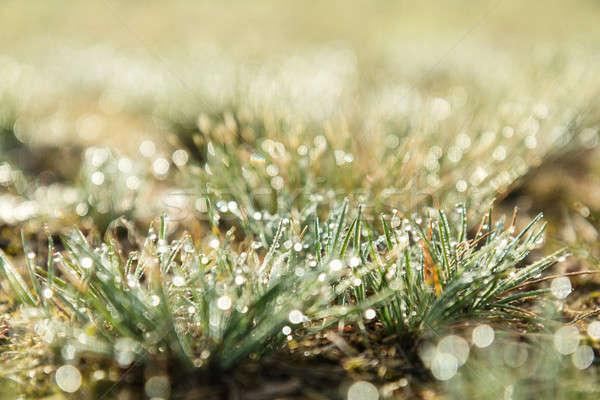 Morning dew on green grass at the natural morning sunlight. Abst Stock photo © artsvitlyna