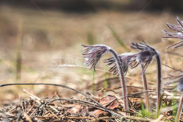 Stock photo: Beautiful spring with prairie crocus, cutleaf anemone