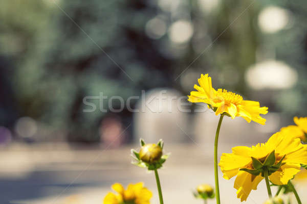 Stock photo: Blooming yellow tender daisies in the summer time