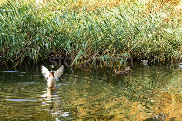 Stock photo: Ducks swimming in the city park lake