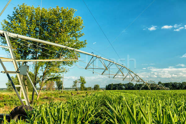 Green cornfield with irrigation system. Sunny summer day. Concep Stock photo © artsvitlyna
