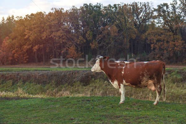 Stock photo: Cows on pasture at the sunset