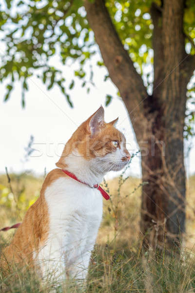 Stock photo: Cute white-and-red cat in a red collar in the grass. Cat is star