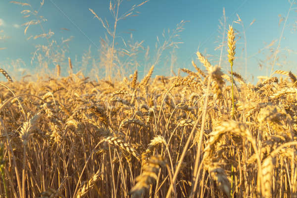 Stock photo: Agricultural fragmental panorama of the wheat field