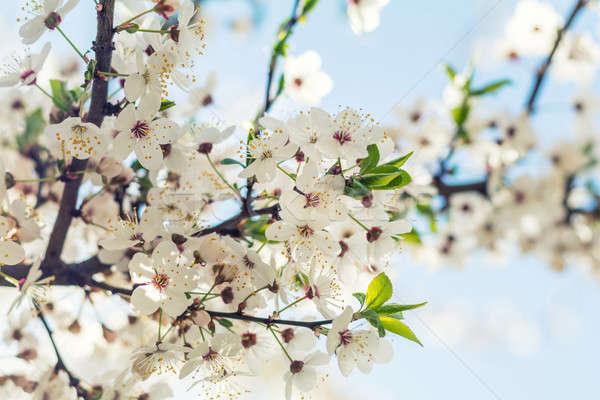 Primavera arte bianco fiore di ciliegio bella natura Foto d'archivio © artsvitlyna