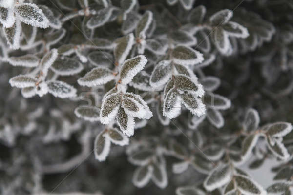 Stock photo: Frost on boxwood branches. Shallow depth of field. Beautiful win