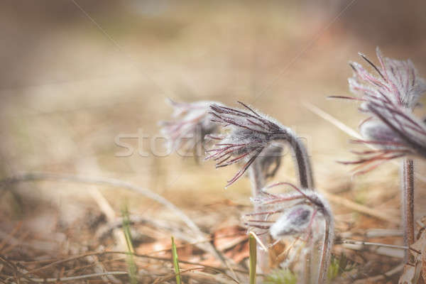 Beautiful spring violet flowers background. Eastern pasqueflower Stock photo © artsvitlyna