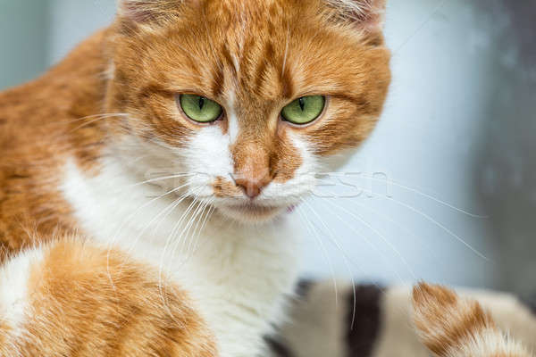 Portrait cut funny white-and-red cat close up. Shallow depth of  Stock photo © artsvitlyna