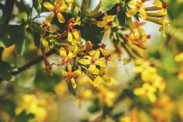 Stock photo: Spring background art with yellow blossom