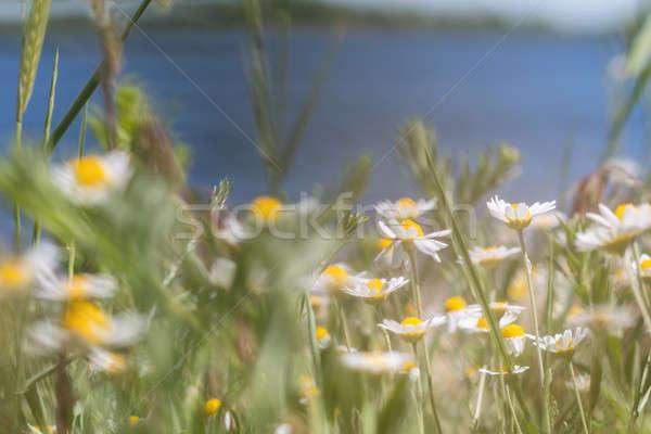 Stock photo: Wild daisies at the river bank