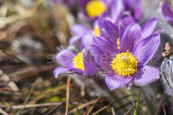 Stock photo: Beautiful spring violet flowers background. Eastern pasqueflower