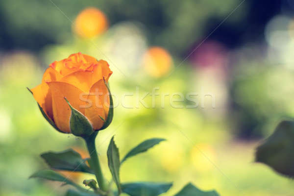 Beautiful orange rose on green branch with on plain green backgr Stock photo © artsvitlyna