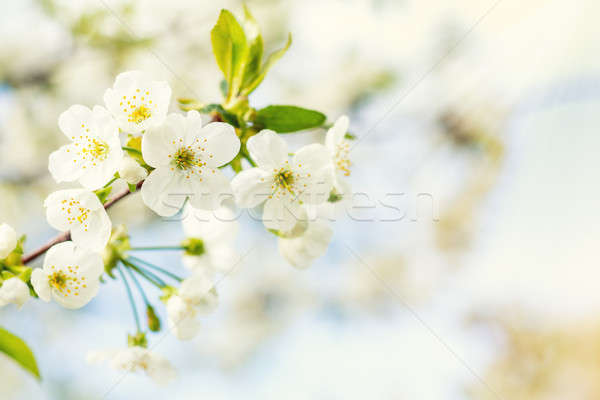 Stock photo: Spring background art with white cherry blossom. Beautiful natur