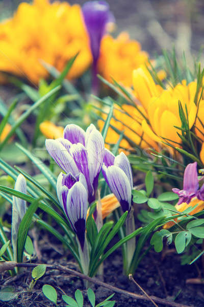 Stock photo:  flowers crocuses on bokeh background in sunny spring forest und