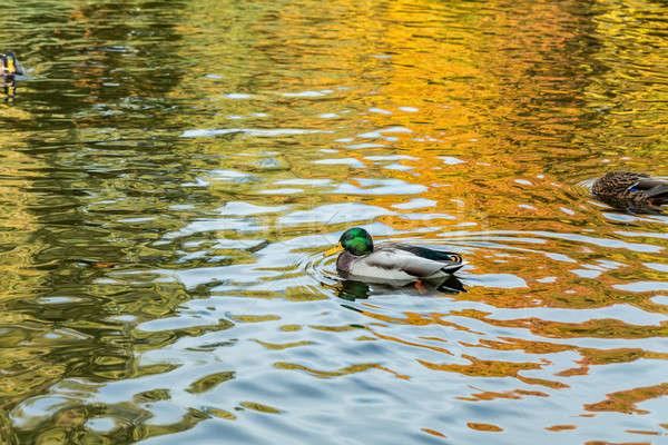 Drake swimming in the city park lake Stock photo © artsvitlyna