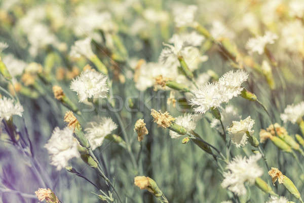Stock photo: Field of white blooming cloves