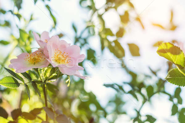 Stock photo: Beautiful summer scene with dog-rose flowers on blue sky backgro