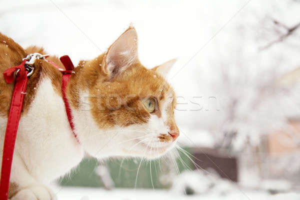 Stock photo: Red and white kitty cat in red collar