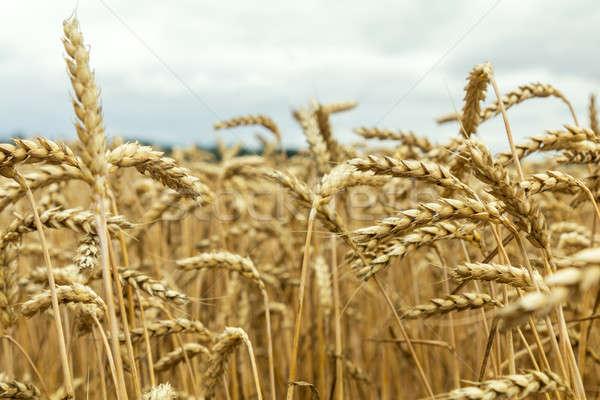 Agricola panorama campo di grano maturo grano fiori di campo Foto d'archivio © artsvitlyna