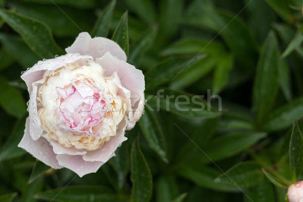 Stock photo: Showy peony flower with dew drops