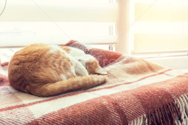 Stock photo: Red cat sleeping in warm wool plaid blanket