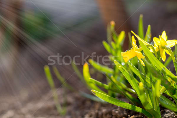 Stock photo: Yellow blooming daffodil. Sunny day. It rains in sunny day.