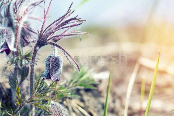 Préri kikerics gyönyörű tavasz ibolya virágok Stock fotó © artsvitlyna