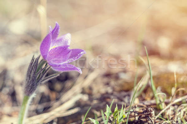 Stock photo: Prairie crocus, cutleaf anemone